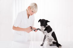 Vet Trimming Dog`s Toenail. Young Female Vet Trimming Dog`s Toenail In Clinic Royalty Free Stock Photography