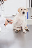 Vet using nail clipper on a labrador Royalty Free Stock Photo