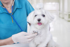 Vet With Dog Royalty Free Stock Photography