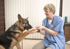 Vet working with an Alsatian dog royalty free stock photo
