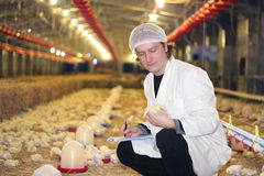 Vet working on chicken farm Stock Images