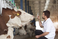 Vet Working. On Simmental Cows stock photo