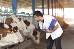Vet Working. On Simmental Cows stock images