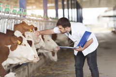 Vet Working. On Simmental Cows stock photos