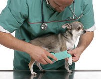 Vet wrapping a bandage around a Chihuahua's paw Royalty Free Stock Photo