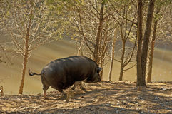 Vet zwart varken die langs een vijver lopen. Stock Afbeeldingen