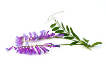 Vetch Stock Photography
