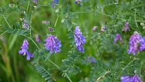 Vetch flowers close up in the field. HD video footage static camera stock video footage