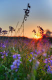 Vetch flowers at sunrise Stock Photo