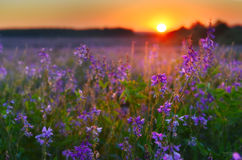 Vetch flowers at sunrise Royalty Free Stock Image