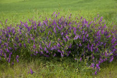 Vetch Stock Photo