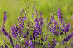 Vetch Royalty Free Stock Photo