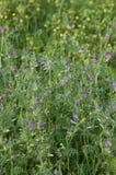 Vetches Vicia sativa. Vetches Vicia sativa in a field Stock Photography