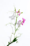 Vetches, Vicia, white background Stock Photo