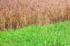 Veteåker och grönt gräs Arkivfoto