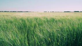 Veteåker som svänger i vinden arkivfilmer