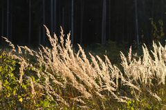 Veteöron i solljuset Fotografering för Bildbyråer