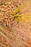 Vete av korn Arkivbild