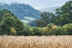 Vete de svarta bergen, Wales, i bakgrund Fotografering för Bildbyråer