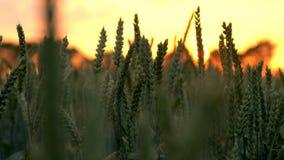 Vete- eller kornfält som blåser i vinden på solnedgången eller soluppgång stock video