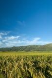 vete för kornfältgreen Arkivbild