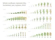 Vete för potatis för sojaböna för ärta för bovete för solrosrapsfrölin Vektor som visar de växande växterna för fortgång beslutsa royaltyfri illustrationer