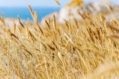 vete för sommar för dagfält varmt Öron av det guld- veteslutet upp arkivfoton