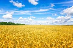 vete för sommar för dagfält varmt Öron av det guld- veteslutet upp Bakgrund av att mogna öron av ängvetefältet Richskördbegrepp a royaltyfri bild
