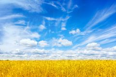 vete för sommar för dagfält varmt Öron av det guld- veteslutet upp Bakgrund av att mogna öron av ängvetefältet Richskördbegrepp a arkivbild