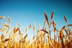 vete för sommar för dagfält varmt Lantligt landskap under glänsande solljus En bakgrund av det mognande vetet skörda rich royaltyfri bild