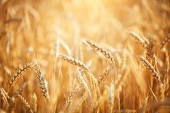 vete för sommar för dagfält varmt Lantligt landskap under glänsande solljus En bakgrund av det mognande vetet skörda rich arkivfoton