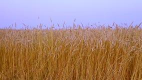 vete för sommar för dagfält varmt Öron av det guld- veteslutet upp Härligt natursolnedgånglandskap Lantligt landskap under glänsa lager videofilmer