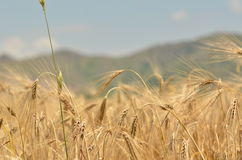 vete för sommar för dagfält varmt Arkivbilder