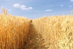Vete fields under sunen i sommaren Arkivfoto