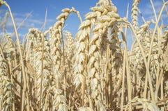 Vete gå i ax mycket av korn på det sädes- fältet över blå himmel Royaltyfria Foton