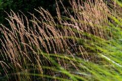 Vete och gräs arkivbild