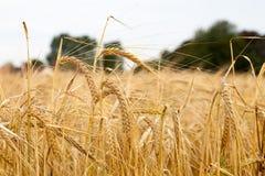Vete- och kornkornfält Arkivbild