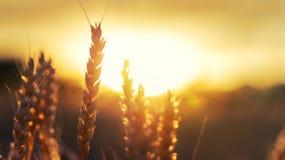 Vete och sol Arkivfoto