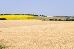 Vete- och solrosfält Fotografering för Bildbyråer
