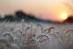 Vete sätter in under solnedgång arkivfoton