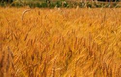 Vete som blåser i ett fält i Pennsylvania royaltyfria foton