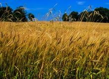 Vete som blåser i ett fält i Pennsylvania arkivfoto