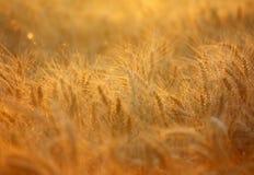 Vetefält Arkivfoto