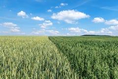 Vetefält bredvid ett fält med den gröna havren Fotografering för Bildbyråer