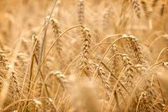Vetefält - guld- korn av vete, härligt skördfält royaltyfria bilder