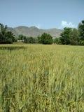 Vetefält i bajaur Pakistan royaltyfri fotografi
