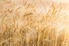 Vetefält i centrala Ryssland Vetefält i centrala Ryssland Fotografering för Bildbyråer