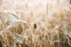 Vetefält i centrala Ryssland Royaltyfria Foton