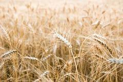 Vetefält i centrala Ryssland Arkivbilder