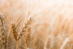 Vetefält i centrala Ryssland Spikelets i närbild Fotografering för Bildbyråer